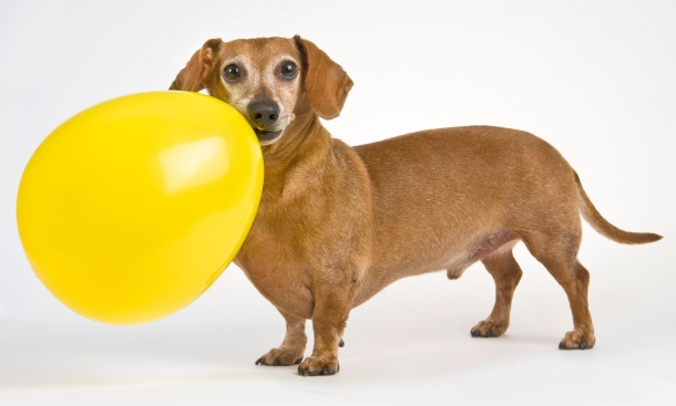 Daschund with his Balloon